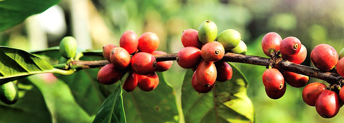 Coffee beans. The Coffee Mate